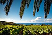 grape, Malfa, Salina Island, Aeolian islands, Sicily, Italy