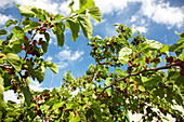 Mulberry tree with fruit in the sunlight, Kornati archipelago, Croatia, Europe