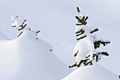 Spruce tree sapling buried in snow Churchill Manitoba