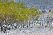 Aspen Populus tremuloides grove after autumn snow, Glacier National Park Montana