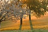 Orchard, fruit trees in flower, sunrise and morning fog, Franconian Switzerland, Bavaria, Germany