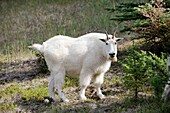 Moutain goat Oreamnos americanus in Jasper National Park  Rocky Mountains, Alberta, Canada