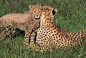 Cheetah mom and cubs Acinonyx jubatus