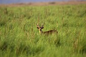 Hog Deer in the grassland of Jim Corbett National Park India