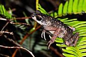 Animal, Animals, Frog, Frogs, Horizontal, Jump, Jumping, Nature, Tree, Trees, Vertebrae, Water, Wildlife, U37-945684, agefotostock