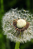 Detailed View of Dandelion Seed