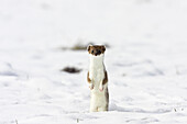 Stoat standing upright, Fur change to Winter coat, Mustela erminea, Germany