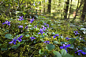 Violets in a deciduous forest, Bavaria, Germany