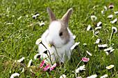 Rabbit on a meadow eating a daisy, Oryctolagus cuniculus, Bavaria, Germany, Europe