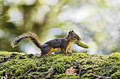 Douglas Squirrel, Tamiasciurus douglasii, with a cone in its mouth, Olympic Nationalpark, Washington, USA