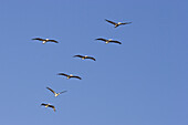 Brown Pelicans, Pelecanus occidentalis, West Coast, Pacific, Olympic Peninsula, Washington, USA