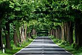 Lime tree avenue, near Garz, Ruegen, Mecklenburg-Vorpommern, Germany