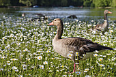Greylag Geese, Kleinhesseloher Lake, English Garden, Isar Cycle Route, Munich, Bavaria, Germany