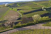 View over Vineyards from Oberrotweil towards Burkheim, Spring, Kaiserstuhl, Baden-Württemberg, Germany, Europe