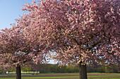 Trees in blossom at Jechtingen, Kaiserstuhl, Baden-Württemberg, Germany, Europe