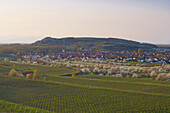 Blossoming cherry trees and vineyards at Sasbach, Kaiserstuhl, Baden-Württemberg, Germany, Europe