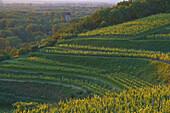 View over vineyards, Sponeck castle, Jechtingen, Sasbach am Kaiserstuhl, Baden-Württemberg, Germany, Europe