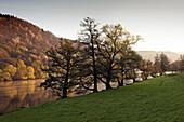 Alder at the riverside, near Freudenberg, Main river, Odenwald, Spessart, Franconia, Bavaria, Germany, Erlen