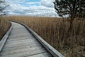 Phragmites australis plant along the boardwalk at Sandy Point Discovery center  Located in Stratham, New Hampshire USA
