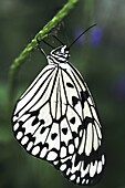 Rice Paper butterfly  Idea leuconoe) hanging from stem of plant