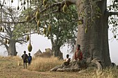 baobab,pays otammari ou somba,region de l´Atakora,Benin,Golfe de Guinee,Afrique de l´ouest,Gulf of Guinea,West Africa