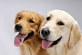 Two one year old Golden Retrievers looking at the camera  Isolated on gray background