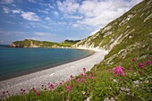 The Flowers of the Red Valerian Centranthus ruber grow on the chalk cliffs and buildings of Lulworth Cove Dorset