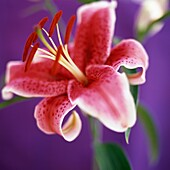 Red Fragrant Stargazer Lily Purple Background-fine art photography © Jane-Ann Butler Photography JABP271 RIGHTS MANAGED