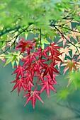 Japanese Maple Acer plamatum, leaves showing autumn colour, Germany
