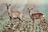 Roe Deer Capreolus capreolus, doe with fawn on farm crop, Germany