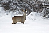 Roe deer, Capreolus capreolus, at edge of snow covered woodland in winter, Harz mountains, Lower Saxony, Germany