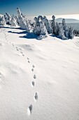 European Fox, tracks in snow, Harz mountains, Lower Saxony, Germany