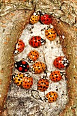 Halequin Ladybirds Harmonia axyridis - gathering in autmn on tree stem before hibernation