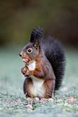European Red Squirrel Sciurus vulgaris, sitting alert in garden, with hazelnut in mouth