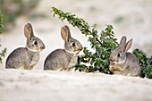 Wild Rabbit Oryctolagus cuniculus, three young animals together, Alentejo, Portugal