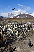 King Penguin Aptenodytes patagonicus breeding and nesting colonies on South Georgia Island, Southern Ocean  King penguins are rarely found below 60 degrees south, and almost never on the Antarctic Peninsula  The King Penguin is the second largest specie