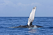 Adult humpback whale Megaptera novaeangliae pectoral fin slapping in the AuAu Channel between the islands of Maui and Lanai, Hawaii, USA  Each year humpback whales return to these waters in the winter and spring to mate and give birth to their calves  I