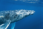 A curious adult humpback whale Megaptera novaeangliae approaches the boat underwater in the AuAu Channel between the islands of Maui and Lanai, Hawaii, USA  Each year humpback whales return to these waters in the winter and spring to mate and give birth