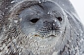 Weddell Seal Leptonychotes weddellii hauled out on ice near the Antarctic Peninsula, southern Ocean  This is the most southerly breeding seal in the world, south to 78 degrees south, inhabiting both pack and fast ice  A weddell seal can grow 2 8 metres 9