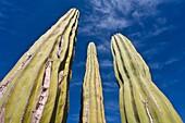 Cactus in bloom in the Sonoran Desert of the Baja California Peninsula, Mexico