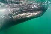 California Gray Whale Eschrichtius robustus underwater in San Ignacio Lagoon on the Pacific side of the Baja Peninsula, Baja California Sur, Mexico  MORE INFO: Each winter thousands of California gray whales migrate from the Bering and Chuckchi seas to br