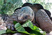 Captive Galapagos giant tortoise Geochelone elephantopus being fed at the Charles Darwin Research Station on Santa Cruz Island in the Galapagos Island Archipeligo, Ecuador  MORE INFO: The Galapagos Giant Tortoise is endemic only to the Galapagos Islands