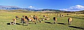 Guanaco Lama guanicoe herd in the patagonian steppe , Chile   Guanaco is a camelid and closely related to the domestic Lama and Alpaca  America, South America, Chile, November 1999