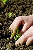 Stock photo of a woman gardener planting lettuce plants in the vegetable plot