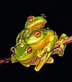 Three Red-Eyed Tree Frogs  Litoria chloris  Coffs Harbour, east coast NSW, Australia  After heavy summer rains, these frogs gather together in the hope of finding a mate