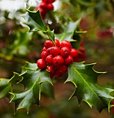 Holly tree at the Botanical Garden  Madrid  Spain