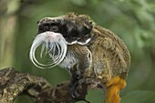 Emperor Tamarin Saguinus imperator with two young on the back