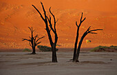 Camelthorn dead trees  Acacia erioloba), and the red sand dune at the back during the sunset. Dead Vlei, Namib_Naukluft National Park, Namib desert, Namibia.