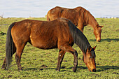pair of chestnut coloured horses grazing in a field in county antrim northern ireland uk