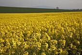 field of oilseed rape Brassica Napus rapeseed flowering in a field in county cork republic of Ireland